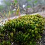 Briófitas com presença de gametófitos e esporófitos.