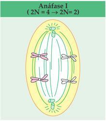 Anáfase I da meiose