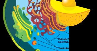 Organelas complexo de Golgi