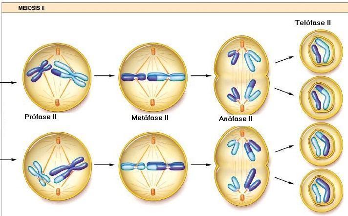 Segunda divisão da meiose