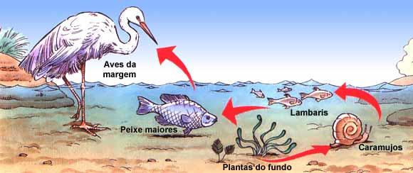 Cadeia alimentar em um ecossistema aquático