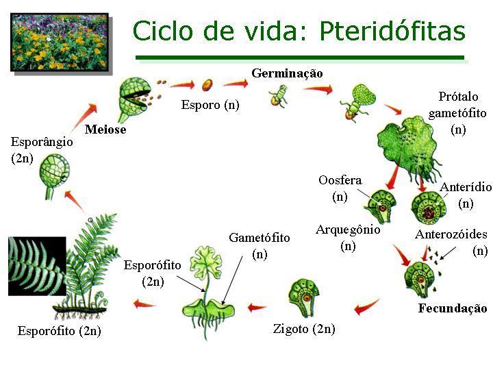 Ciclo de vida das pteridófitas