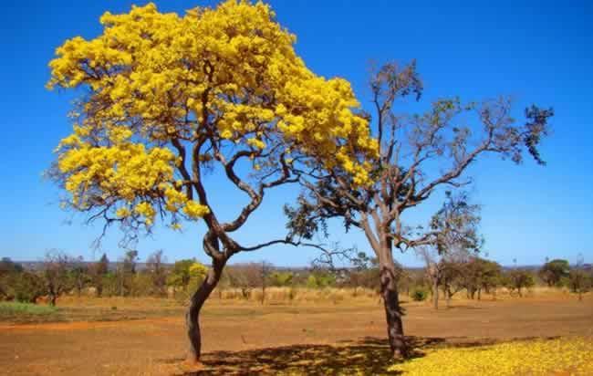 Espécie arbórea do cerrado conhecida como Ipê Amarelo