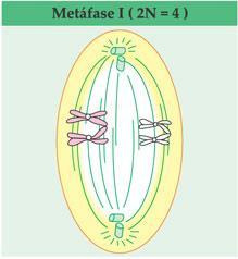 Metáfase I da meiose
