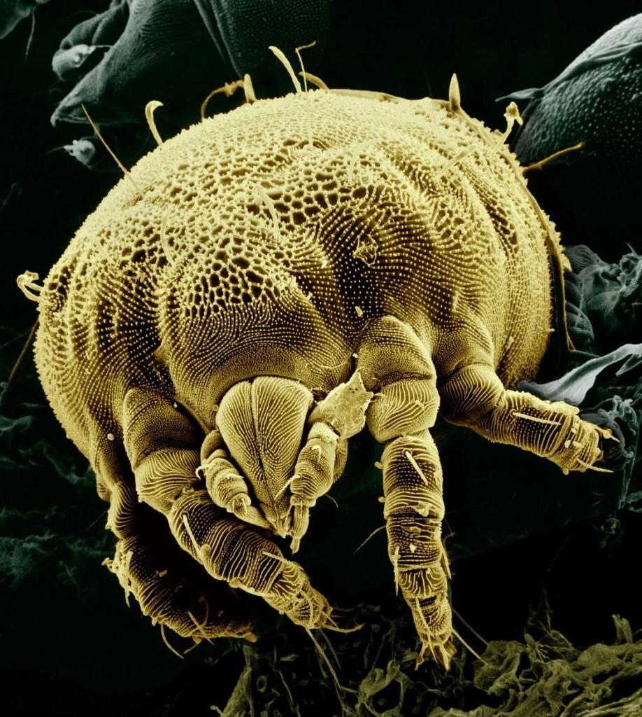 Os ácaros e as alergias