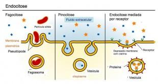 Representação dos tipos de endocitose: