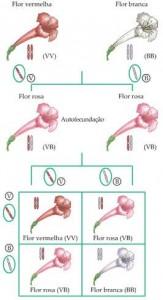 Ausência de dominância na flor de Maravilha