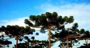 Bosque de araucárias