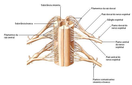 Esquema da medula espinhal