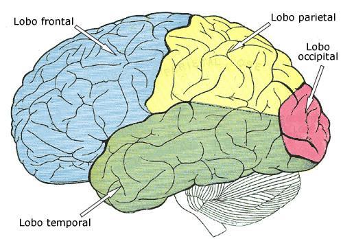 Esquema das regiões do córtex de um humano adulto