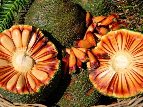 Pinhas de araucária contendo pinhões