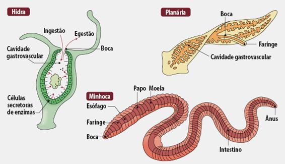 Sistema digestório de alguns invertebrados