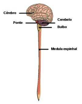 Sistema nervoso dos vertebrados