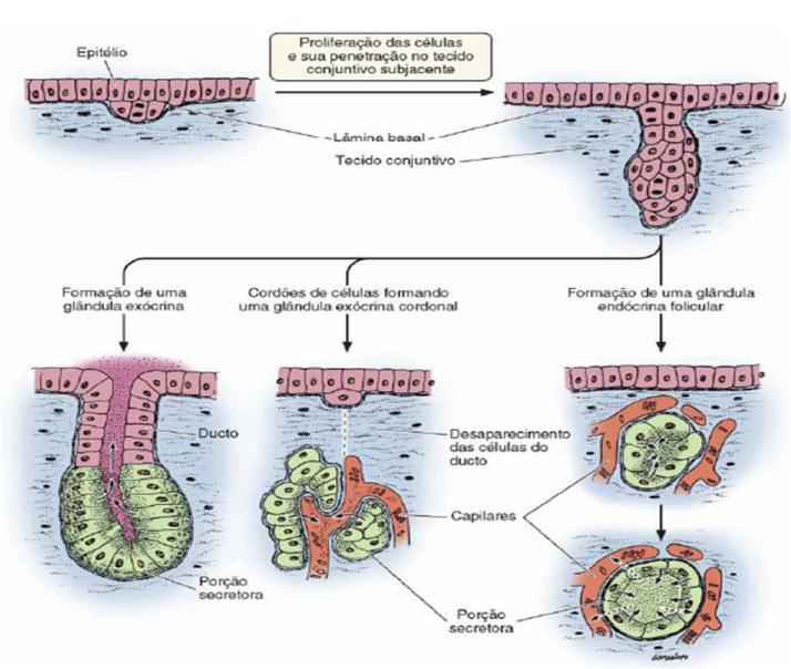 Tecido epitelial glandular ou de secreção