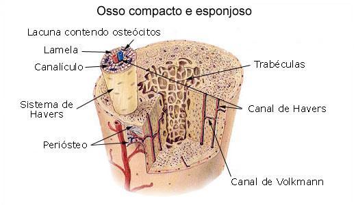 Estrutura de um osso