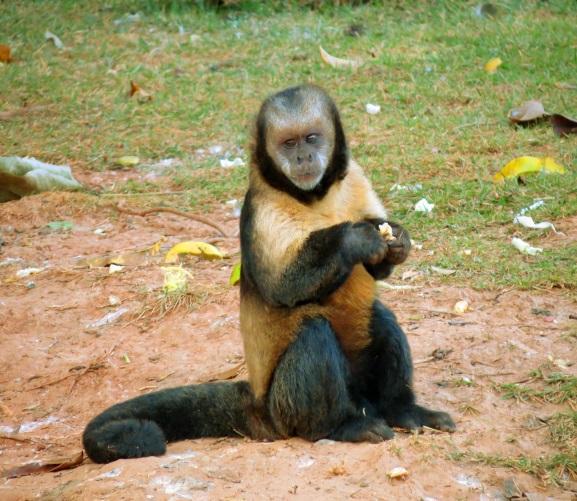 Macaco-prego-do-peito-amarelo