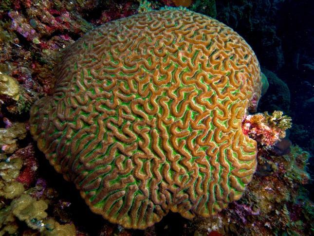 Um exemplo de colônia, os corais