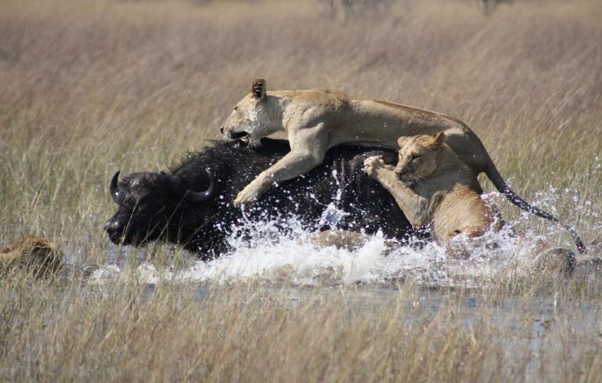 Leoas caçando búfalo (Predatismo)