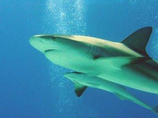 tubarão acompanhado pela rêmora