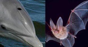 Ecolocalização: golfinho e morcego