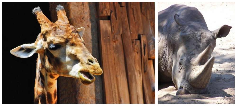 Girafas e rinocerontes