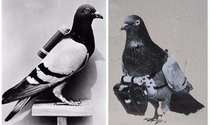 Descubra como o pombo-correio é capaz de entregar mensagens