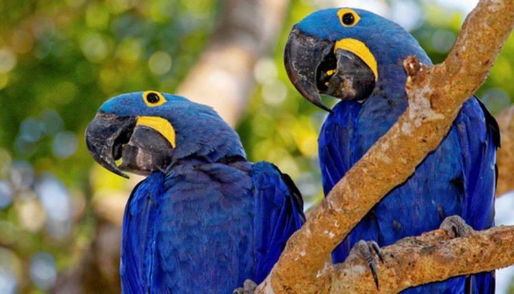 Animais em fase de extinção no Brasil - Arara Azul