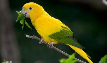 Animais em fase de extinção no Brasil - Ararajuba