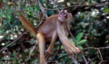 Animais em fase de extinção no Brasil - Caiarara