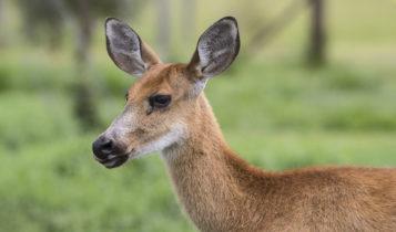Animais em fase de extinção no Brasil - Cervo do Pantanal