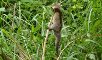 Animais em fase de extinção no Brasil - Cuíca-de-Colete