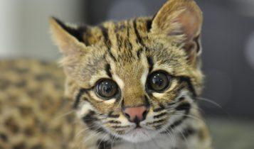 Animais em fase de extinção no Brasil - Gato do Mato
