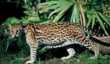 Animais em fase de extinção no Brasil - Gato-Maracajá