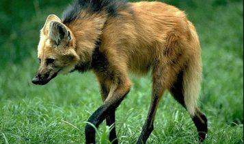 Animais em fase de extinção no Brasil - Lobo Guará