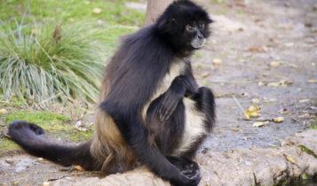 Animais em fase de extinção no Brasil - Macaco-Aranha