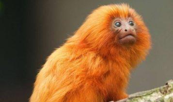 Animais em fase de extinção no Brasil - Mico Leão Dourado
