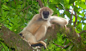 Animais em fase de extinção no Brasil - Muriqui-do-Norte
