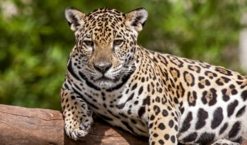 Animais em fase de extinção no Brasil - Onça Pintada