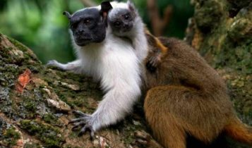 Animais em fase de extinção no Brasil - Sauim-de-Coleira