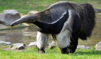 Animais em fase de extinção no Brasil - Tamanduá Bandeira