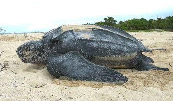 Animais em fase de extinção no Brasil - Tartaruga-de-Couro