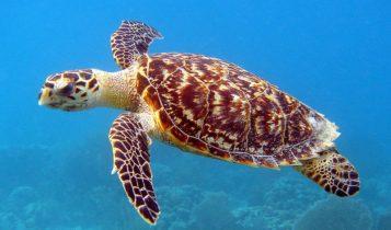 Animais em fase de extinção no Brasil - Tartaruga-de-Pente