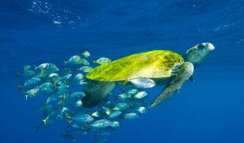 Animais em fase de extinção no Brasil - Tartaruga-Oliva