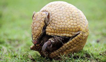 Animais em fase de extinção no Brasil - Tatu-Bola