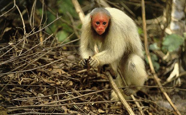 Animais em fase de extinção no Brasil - Uacari-Branco