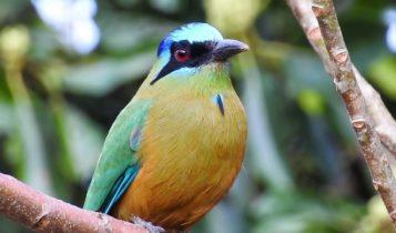 Animais em fase de extinção no Brasil - Udu de Coroa Azul