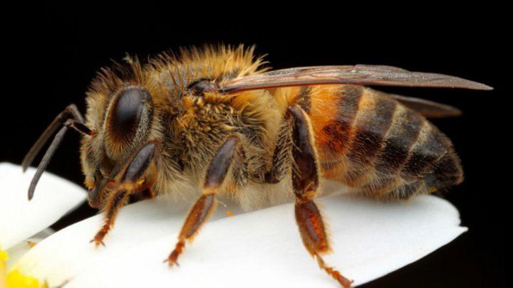 Artrópodes - abelhas