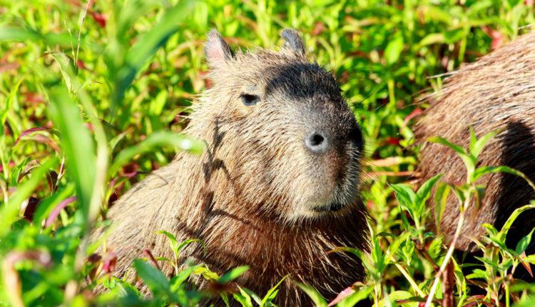 animais do pantanal brasileiro fotos quais são e animais em extinção