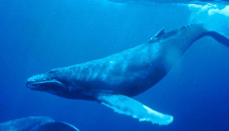 Animais Aquáticos: Baleia-jubarte