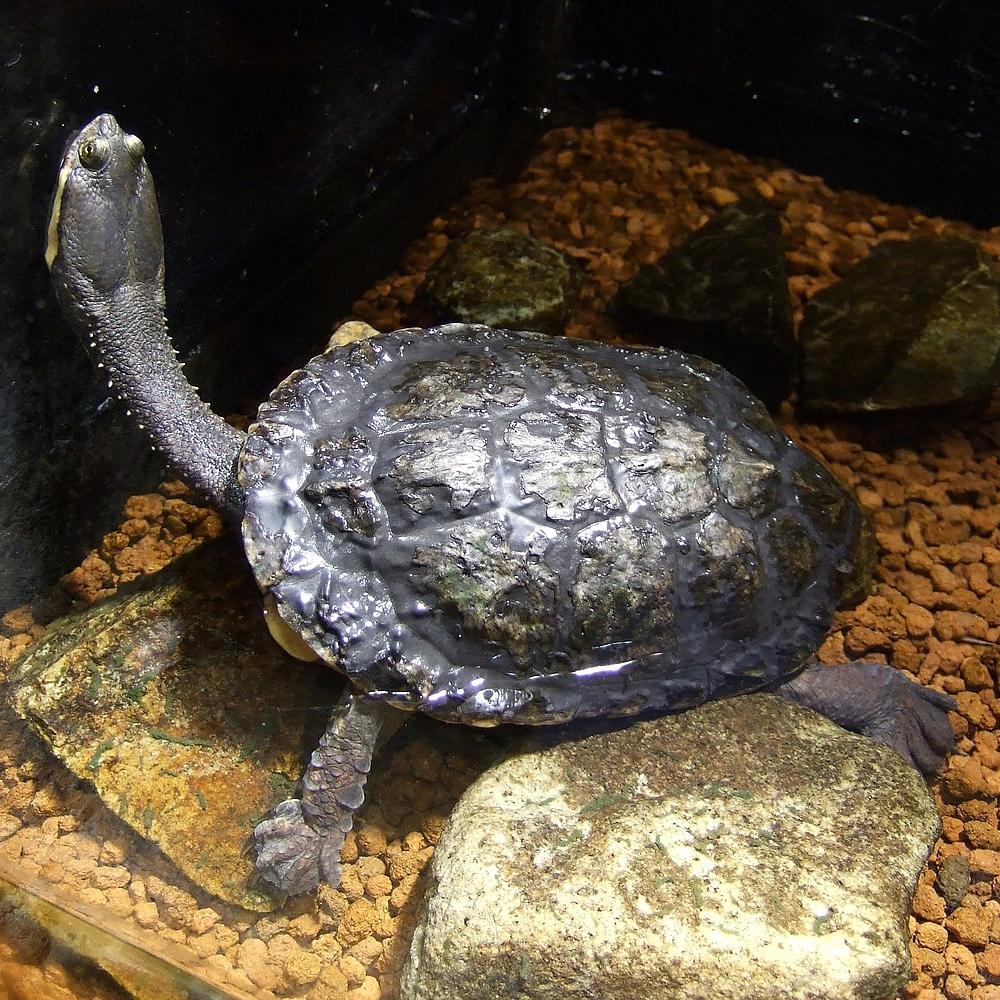 Cágado-pescoço-de-cobra